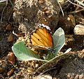 Plain Tiger. Danaus chrysippus - Flickr - gailhampshire (2).jpg