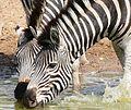 Plains Zebras (Equus quagga burchellii) drinking ... (31276896654).jpg
