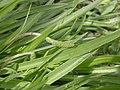 Plantago maritima leaf (02).jpg