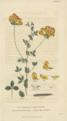 Plate 17 Lotus Corniculatus - Conversations on Botany-1st edition.tiff