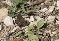 Plebejus carmon - Doğulu esmergöz 08-2.jpg
