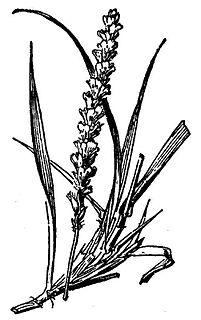 <i>Pleuraphis mutica</i> species of plant
