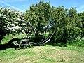 Pochyłe od wiatru drzewa w Hasle - panoramio (1).jpg