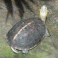 Podocnemis unifilis - Copenhagen Zoo - DSC09100.JPG