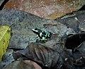 Poison dart Frog. Dendrobates auratus (43568138571).jpg
