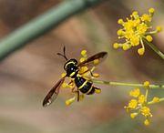 Pollen wasp August-1.jpg