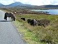 Ponies by Loch Druidibeag (geograph 2645460).jpg