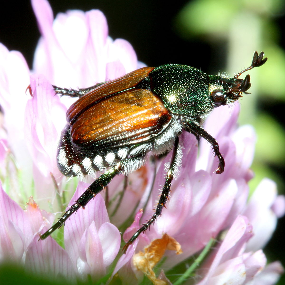 Japanese beetle - Wikipedia