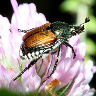 Japanese beetle - Image: Popillia japonica