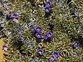 Possible Aptosimum species.jpg