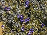 Possible Aptosimum species