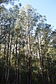 Powelltown Mountain Ash 001.JPG