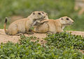 Prairie Dog Pups (4818835713).jpg