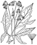 Prenanthes trifoliolata BB-1913.png