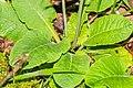 Primula elatior in Causse Comtal (2).jpg