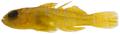 Priolepis hipoliti - pone.0010676.g176.png