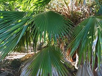 Pritchardia beccariana - Image: Pritchardia beccariana (4762066774)