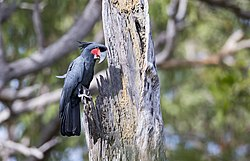 Probosciger aterrimus, Cape York 1.jpg
