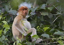 Proboscis Monkey in Borneo 2.jpg