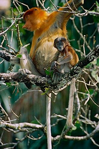Proboscis monkey - Female with young, Sarawak, Borneo, Malaysia