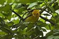 Prothonotary Warbler - Texas - USA H8O9801 (22674723289).jpg
