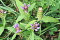 Prunella vulgaris SCA-0565.jpg