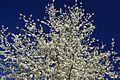 Prunus sp.-CTJ-IMG 0435.jpg