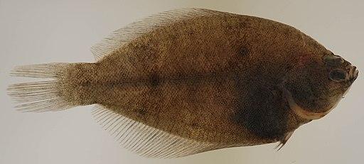 Pseudopleuronectes americanus (S0892) (12658628105)