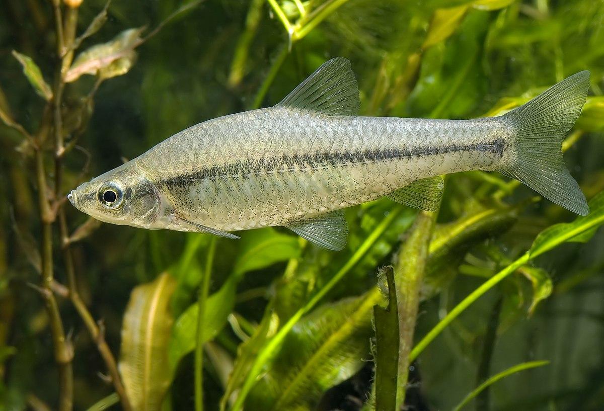 Ikan Wiktionary Bahasa Indonesia