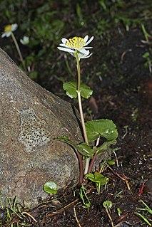 <i>Caltha leptosepala</i> species of plant