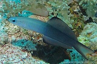 <i>Ptereleotris evides</i> species of fish