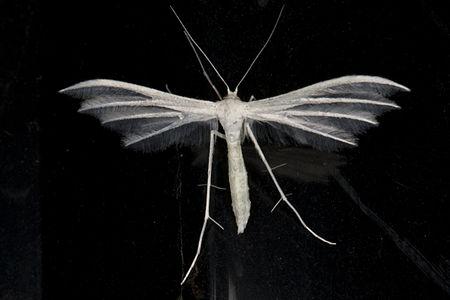 Pterophorus pentadactyla, Lodz(Poland)04(js).jpg