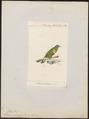 Ptilinopus speciosus - 1875 - Print - Iconographia Zoologica - Special Collections University of Amsterdam - UBA01 IZ15600067.tif