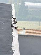 Ptyonoprogne rupestris flock.jpg