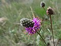 Purple Prairie Clover Wildflower.jpg