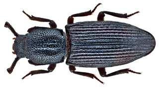 <i>Pycnomerus</i> genus of insects