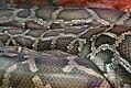 Python molurus 3zz.jpg