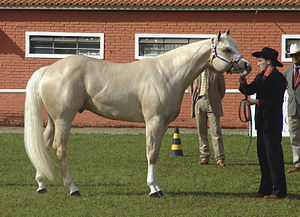 Isabelline (colour) - Light palomino Quarter Horse, which may be described as isabelline