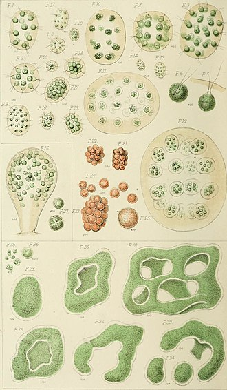 Royal Microscopical Society - Illustration of Professor Henfreys paper on some Fresh-water Con-fervoid Algae, new to Britain (1853)