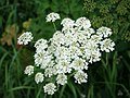 Queen Anne's Lace, (Anthriscus sylvestris) - geograph.org.uk - 472636.jpg