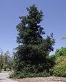 Quercus agrifolia 1.jpg