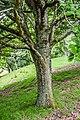 Quercus canariensis x Q. montana in Hackfalls Arboretum (3).jpg