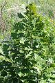 Quercus macrocarpa - burr oak 0209.jpg