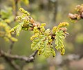 Quercus pubescens in Aveyron (11).jpg