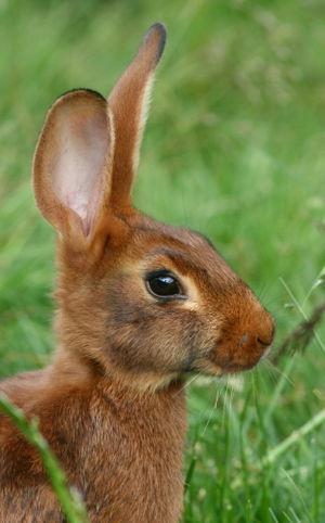 Belgian Hare - Belgian Hare profile