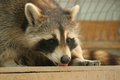 Raccoon (15532625749).png