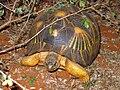 Radiated Tortoise - Astrochelys radiata - Madagascar.jpg