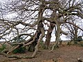 Ramshackle oaks, Stonard Wood, New Forest - geograph.org.uk - 292309.jpg