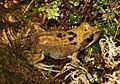 Rana-temporaria-grasfrosch.jpg