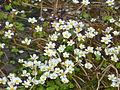 Ranunculus aquatilis - Moinhos da Rocha Tavira Portugal 02.JPG